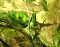 Camaleón en el verde imagenes de archivo