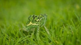 Camaleón en hierba gruesa Imagenes de archivo