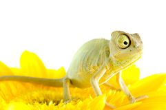 Camaleón en la flor. imagen de archivo libre de regalías