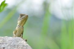 Camaleón en la roca Imagen de archivo