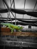 Camaleón en un invernadero imagen de archivo