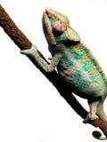 Camaleón en una ramificación Imagen de archivo