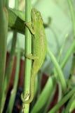Camaleón enano del cabo Fotos de archivo