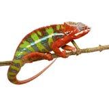 Camaleón Furcifer Pardalis - Ambilobe (18 meses) Imagen de archivo libre de regalías