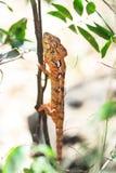 Camaleón hermoso Imágenes de archivo libres de regalías