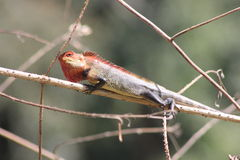 Camaleón indio que descansa sobre rama seca imagen de archivo libre de regalías