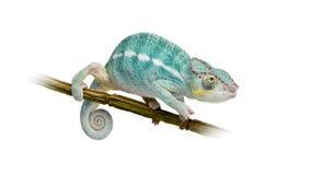 Camaleón joven Furcifer Pardalis - Nosy sea foto de archivo