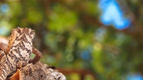 Camaleón liso - laevigatus del chameleo - subir para arriba un árbol fotos de archivo