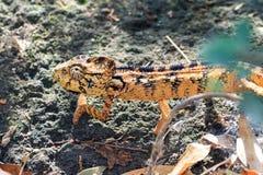 Camaleón malgache Imagenes de archivo