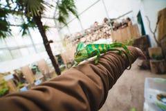 Camaleón a mano Fotos de archivo