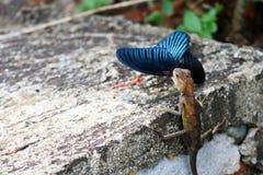 Camaleón que come la mariposa Imagenes de archivo