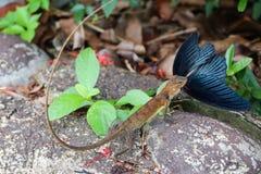 Camaleón que come la mariposa Fotos de archivo libres de regalías