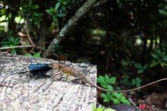 Camaleón que come la mariposa Imágenes de archivo libres de regalías