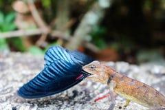 Camaleón que come la mariposa Imagen de archivo