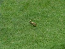 Camaleón que come una cucaracha Fotos de archivo
