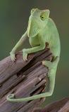 Camaleón que cuelga sobre la ramificación Imagenes de archivo