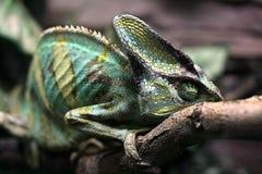 Camaleón que duerme en rama Fotos de archivo libres de regalías