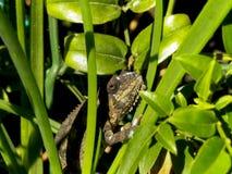 Camaleón que muda Fotos de archivo