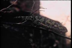 Camaleón que se arrastra en rama en África almacen de metraje de vídeo