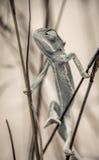 Camaleón que sube Fotografía de archivo libre de regalías