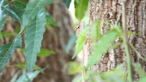 Camaleón que sube en caza que espera del árbol para almacen de video