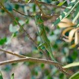 Camaleón que sube en un árbol Fotografía de archivo libre de regalías