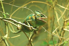 Camaleón velado Fotos de archivo libres de regalías