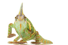 Camaleón velado Imagenes de archivo