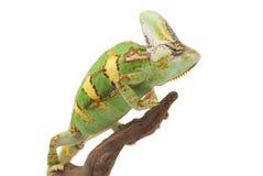 Camaleón velado Imágenes de archivo libres de regalías