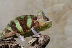 Camaleón velado Fotos de archivo