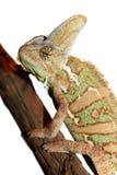 Camaleón velado aislado Imagen de archivo libre de regalías