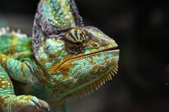 Camaleón velado (calyptratus del Chamaeleo) Imagen de archivo libre de regalías