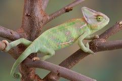 Camaleón velado en árbol imagenes de archivo