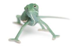 Camaleón velado joven, calyptratus del Chamaeleo Fotografía de archivo libre de regalías