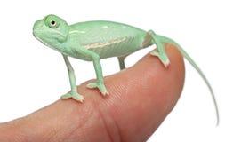 Camaleón velado joven en el dedo Imagenes de archivo