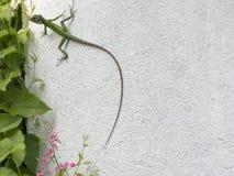 Camaleón verde en una pared blanca Imagenes de archivo