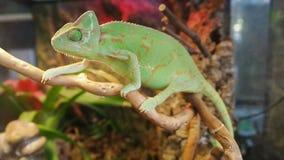 Camaleón verde que balancea entre las ramas del árbol seco Calyptratus del Chamaeleo, camaleón de la cono-cabeza, camaleón velado almacen de video