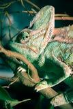 Camaleón Foto de archivo libre de regalías