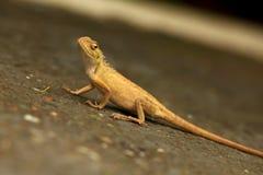 Camaleón amarillo alerta Imagen de archivo libre de regalías