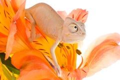 Camaleón en la flor Fotos de archivo libres de regalías