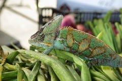 Camaleão colorido verde Imagem de Stock Royalty Free