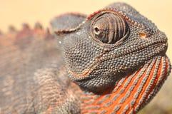 Camaleão de Namaqua Fotografia de Stock
