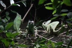 camaleones Fotografía de archivo