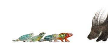 Camaleones y puerco espín contra el fondo blanco Foto de archivo libre de regalías