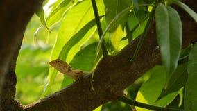 Camaleonte che scala sull'albero di mango in giardino stock footage