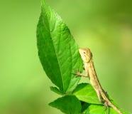Camaleonte del bambino che tiene una foglia verde Immagine Stock Libera da Diritti