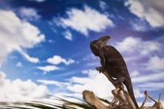 Camaleonte dell'Yemen Fotografie Stock