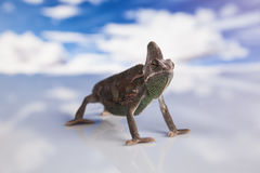 Camaleonte dell'Yemen Fotografia Stock
