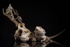 Camaleonte dell'Yemen con la lucertola di drago Fotografie Stock