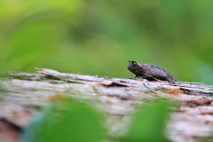 Camaleonte della foglia di Brown Fotografia Stock